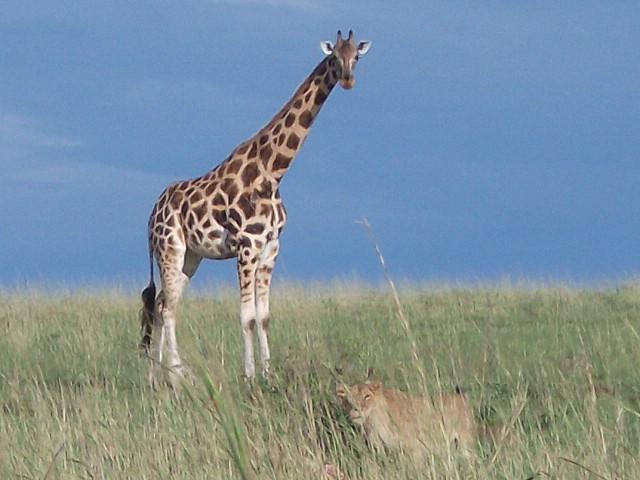 Giraffe und Löwe © Wolfgang Stoephasius