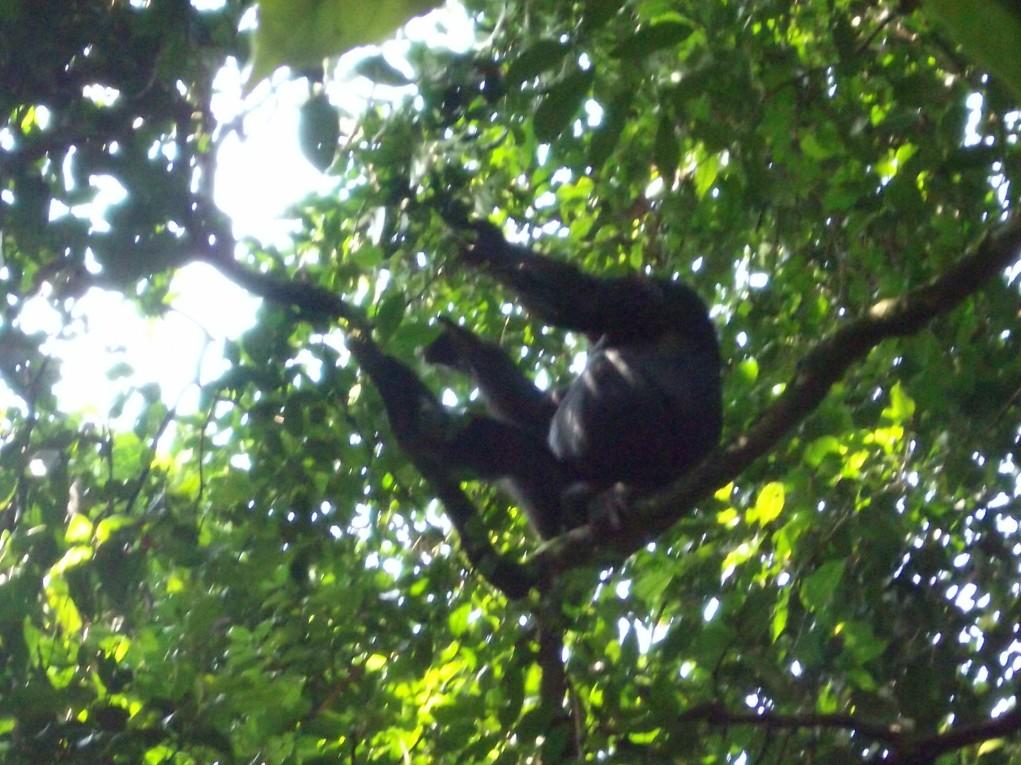 Schimpanse im Baumwipfel © Wolfgang Stoephasius